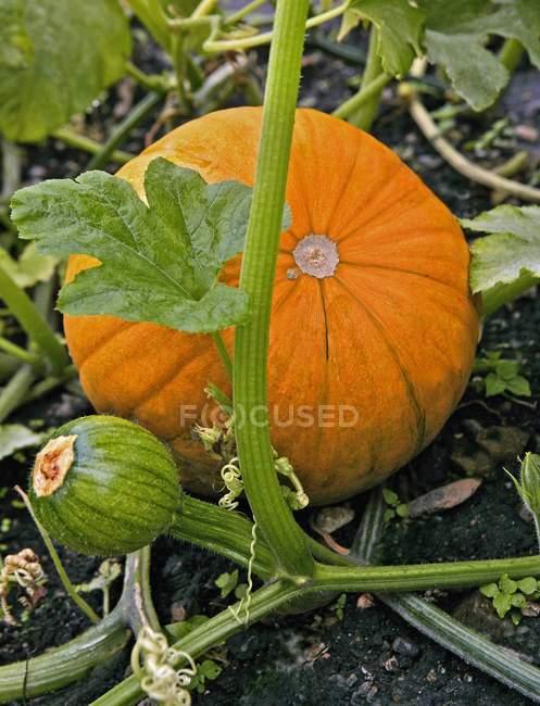 Orange pumpkin on plant — Stock Photo