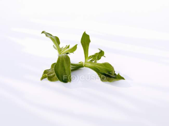 Closeup view of green ice plant on white surface — Stock Photo