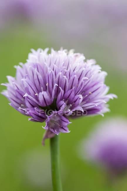 Крупним планом зору одного chive квітка — стокове фото