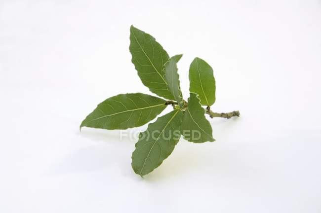 Fresh Sprig of bay leaves — Stock Photo