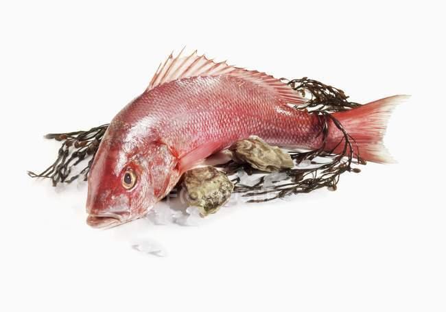 Red Snapper mit Algen und Austern — Stockfoto