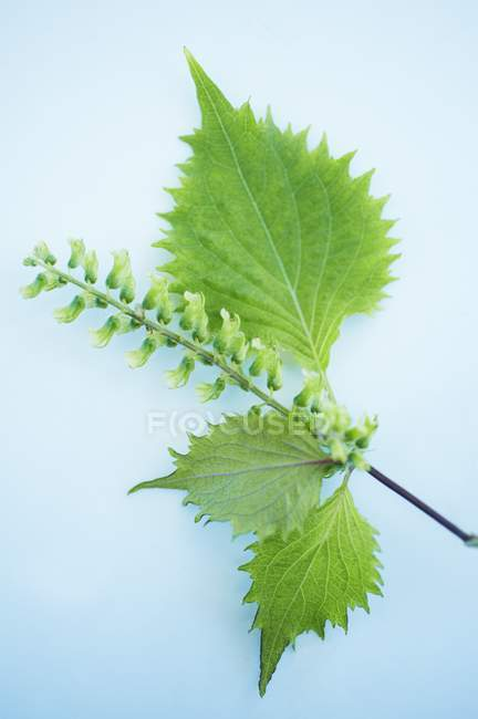 Shiso herb leaves with stem and seeds — Stock Photo