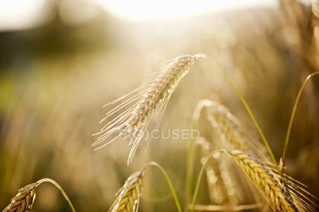 Closeup vista de espigas de centeio no campo — Fotografia de Stock