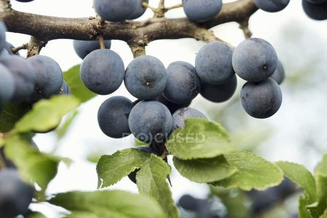 Ciruelas maduras en ramas - foto de stock