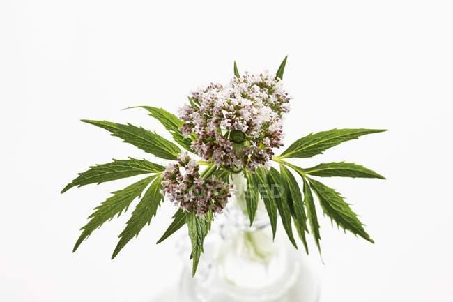 Підвищені з видом на валеріани квіти і листя на білому тлі — стокове фото