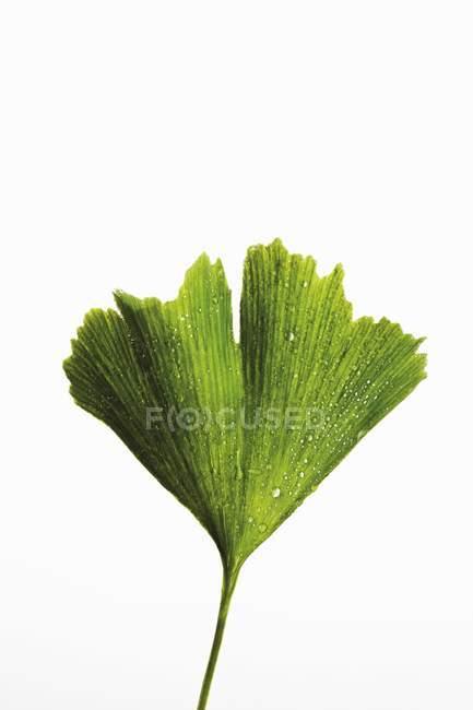 Аркуш ginkgo зелений з крапель води на білому тлі — стокове фото