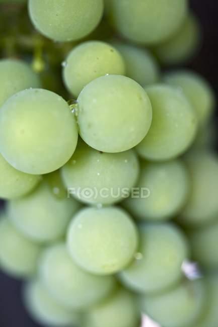 Raisins verts de rosée — Photo de stock