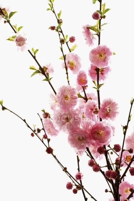 Крупный план цветения миндаля на белом фоне — стоковое фото