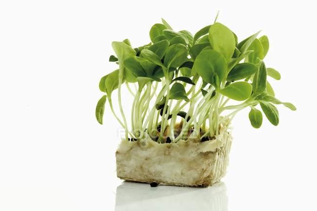 Сырые ростки огуречника — стоковое фото