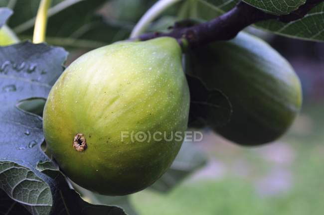 Figs growing on tree — Stock Photo
