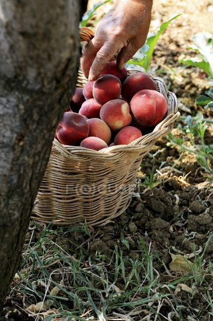 Персики в корзине — стоковое фото