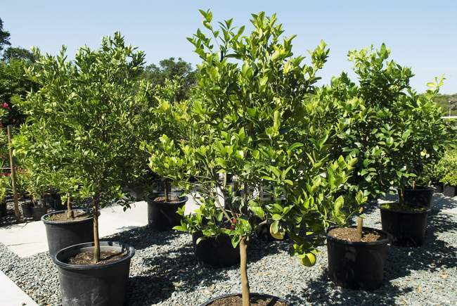 Daytime view of citrus trees in a garden — Stock Photo