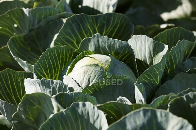 Зеленая капуста свежая — стоковое фото