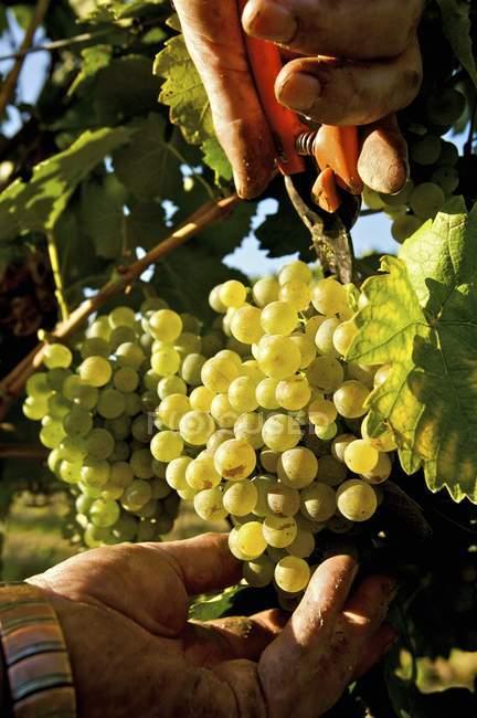 Человек травления винограда — стоковое фото