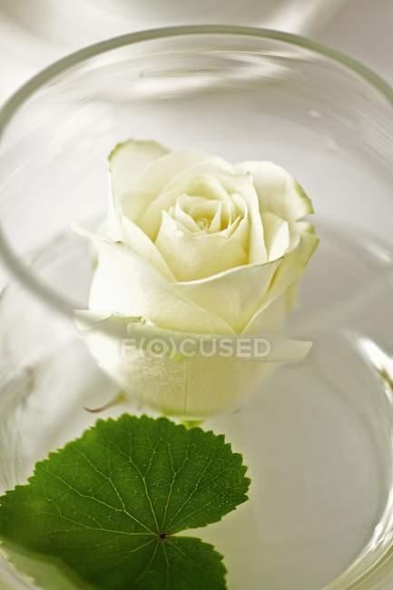 Крупним планом подання білий підннявся у скляній вазі — стокове фото