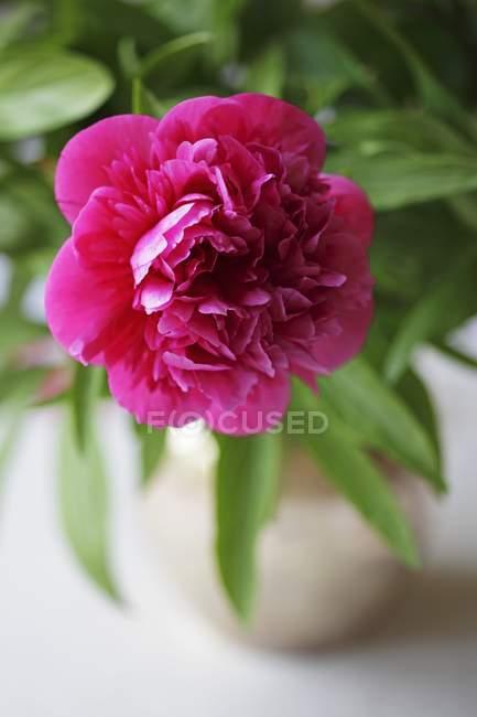 Closeup vista da flor de peônia rosa — Fotografia de Stock
