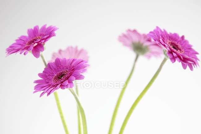 Vista de primer plano de cinco gerberas rosadas sobre fondo blanco - foto de stock