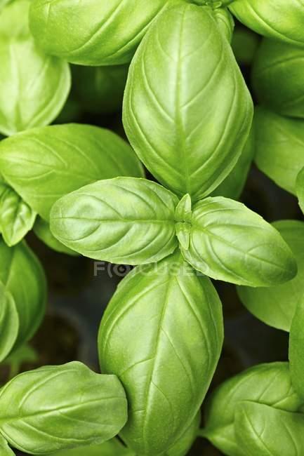 Свіжий базилік зеленого листя — стокове фото