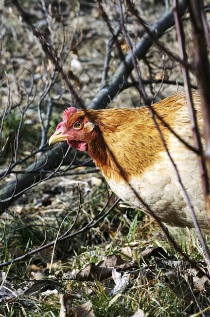 Крупным планом вид свободного выгула коричневые курицы в растениях — стоковое фото