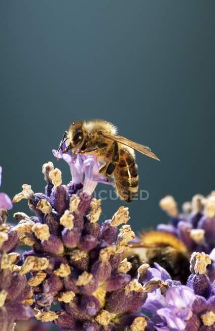 Vue d'une abeille sur une fleur de lavande — Photo de stock