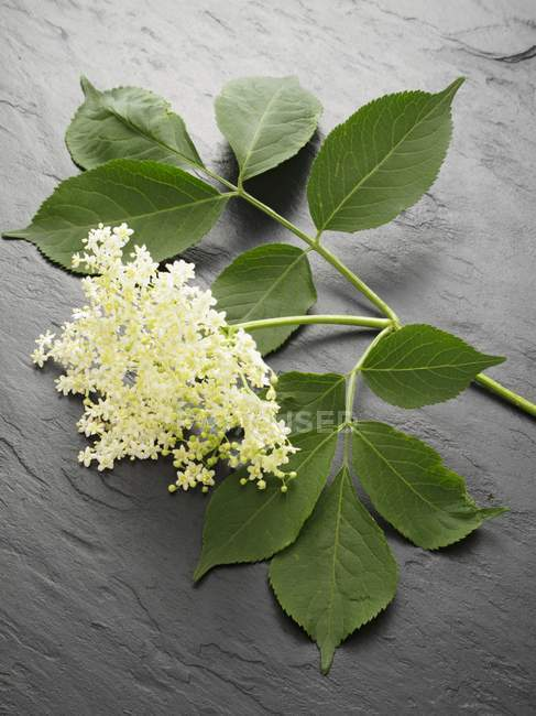 Closeup view of fresh Elderflowers with leaves on grey surface — Stock Photo
