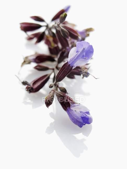 Свежие цветы шалфея — стоковое фото
