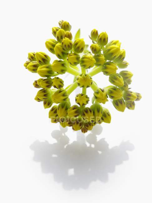 Closeup view of blue stonecrop flowers on white background — Stock Photo