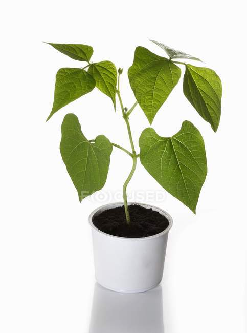A bush bean plant growing in a flower pot on white background — Stock Photo