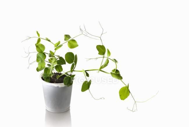 Una planta de guisantes creciendo en una maceta sobre fondo blanco - foto de stock