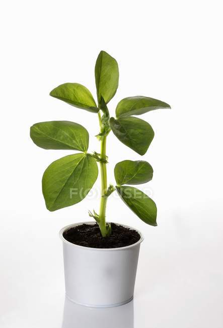 A broad bean plant growing in a flower pot  on white background — Stock Photo