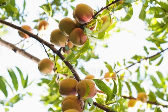 Peaches growing on tree — Stock Photo