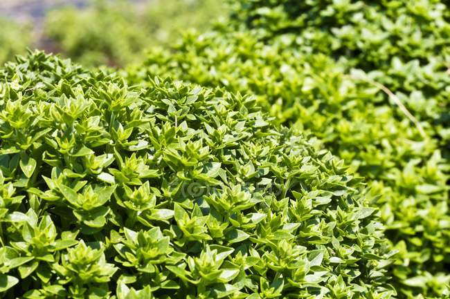 Green Basil growing — Stock Photo