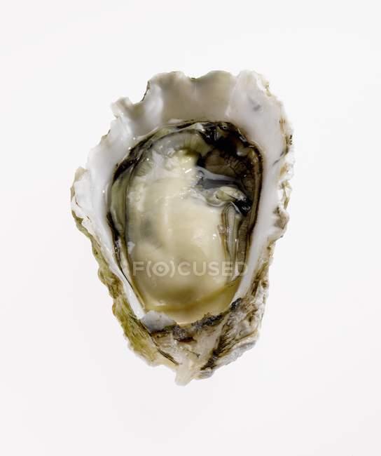 Chiuda in su delle ostriche in mezzo guscio — Foto stock