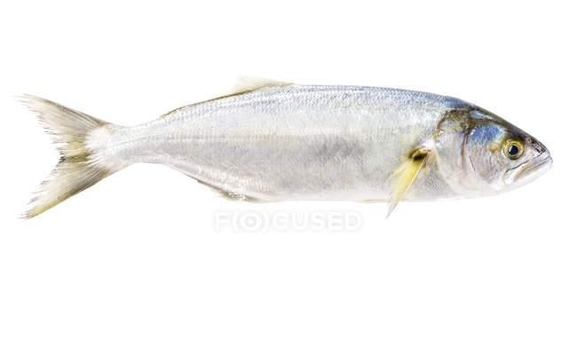 Aw fish, close-up — Stock Photo