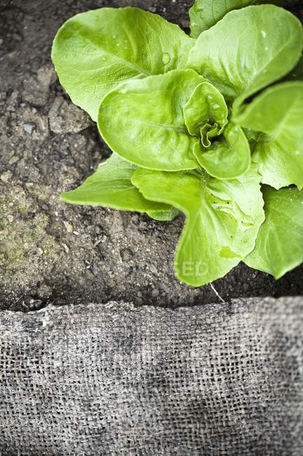 Lettuce plant growing in soil — Stock Photo