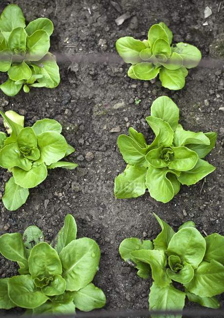 Lettuce growing in garden — Stock Photo