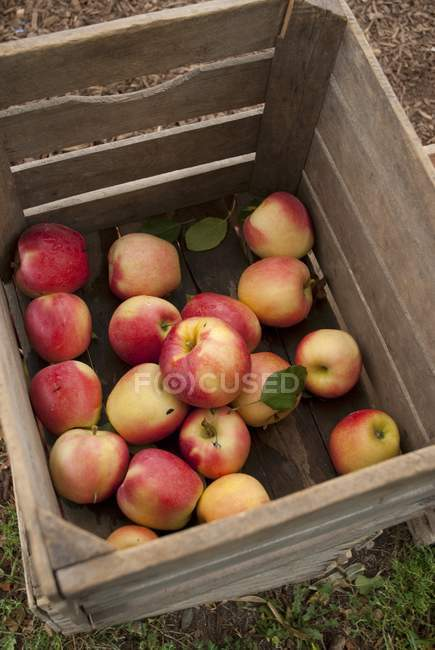 Fresh Picked Apples — Stock Photo