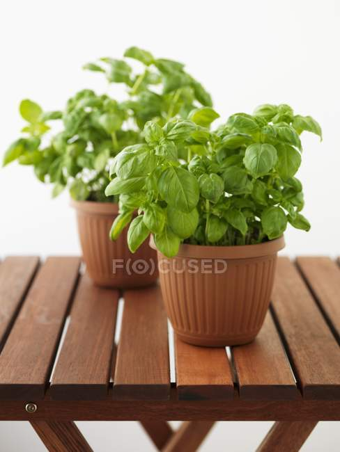 Fresh basil in pots — Stock Photo