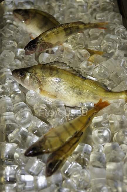 Pescado perca en cubitos de hielo - foto de stock