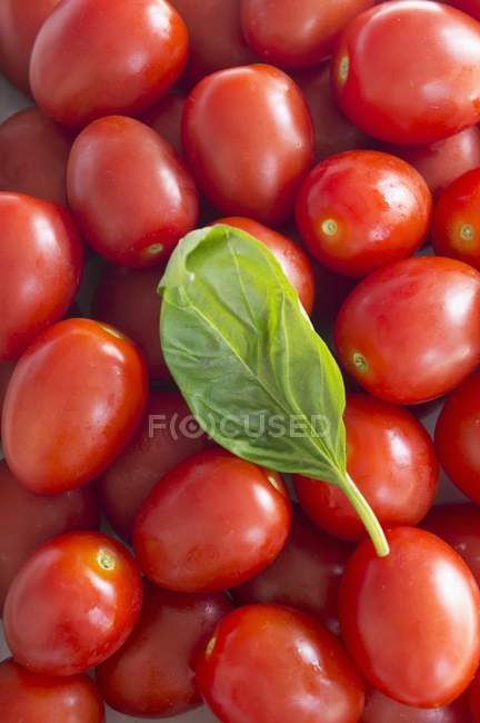 Roma tomatoes and basil — Stock Photo