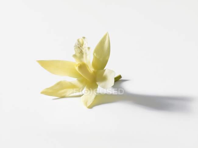 Vista de close-up de flor de baunilha em uma superfície branca — Fotografia de Stock