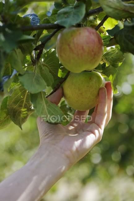 Женская рука берет яблоки с дерева — стоковое фото