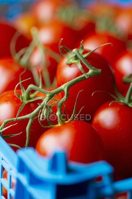Червоні помідори в кошику — стокове фото