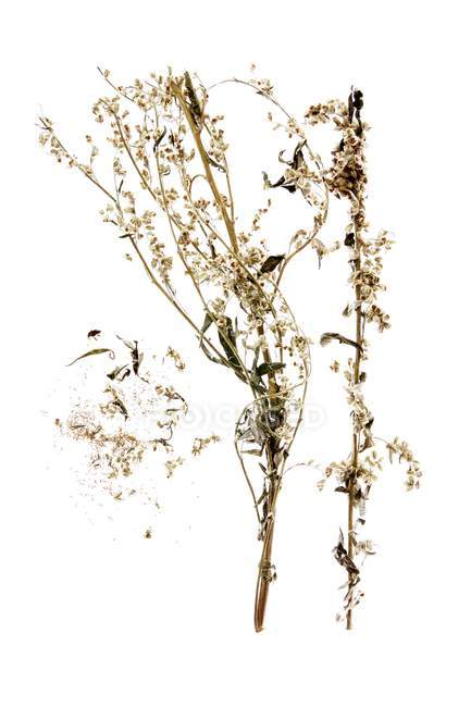 Top view of mugwort with flowers on white background — Stock Photo