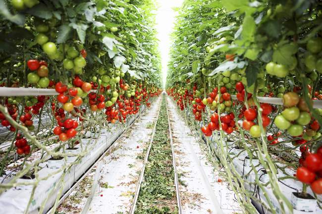 A view down an aisle in a tomato plantation outdoors during daytime — Stock Photo