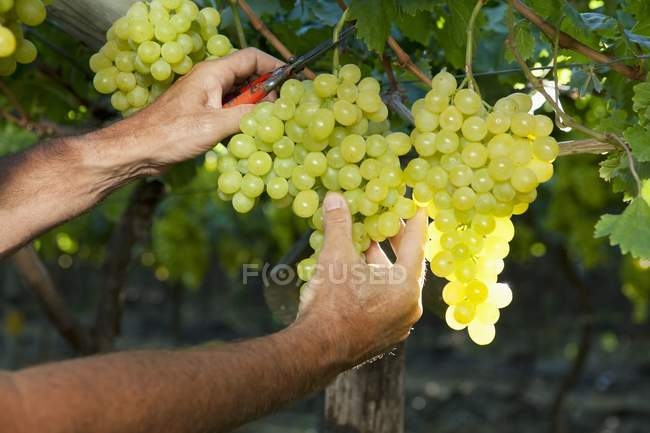 Man picking Grapes from plant — Stock Photo