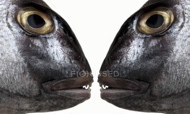 Fish heads face to face — Stock Photo