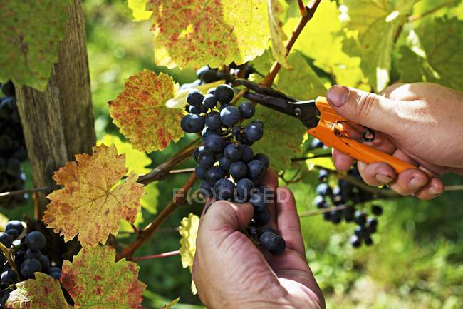Man picking red grapes — Stock Photo