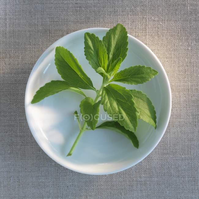 Detalle vista superior de una ramita fresca de Stevia en una placa - foto de stock
