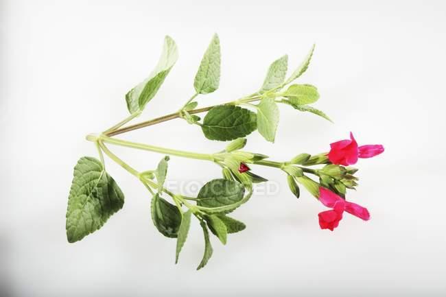 Fresh Redcurrant sage — Stock Photo